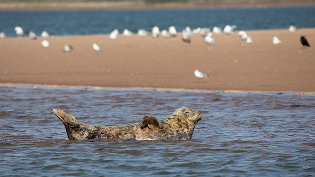 Grey seal in the Exe estuary