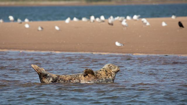 Grey seal in the Exe estuary