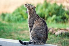 Le chat qui baille.