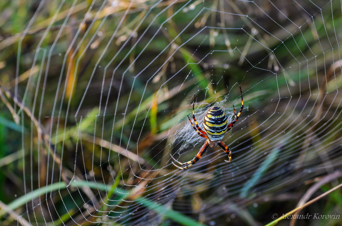 Female wasp spider