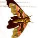 Lime Hawk Moth (Mimas tiliae) 4/7