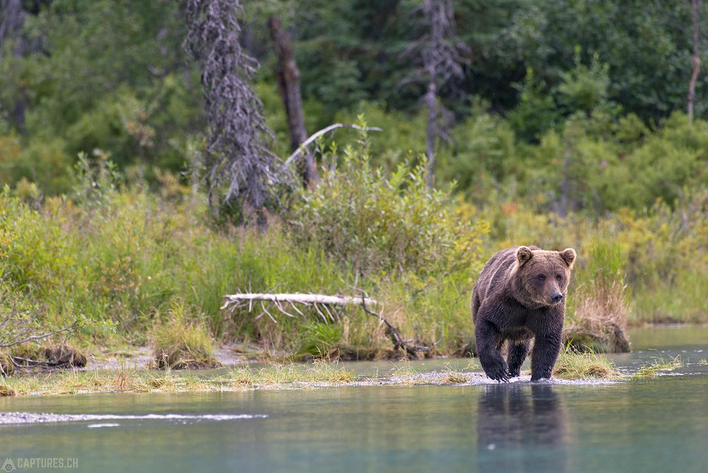 Bear in the water - Alaska