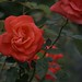 Red Rose by Scott 97006