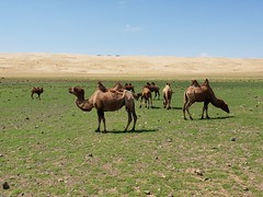 Bactrian camels in the Gobi Desert, Mongolia (11)