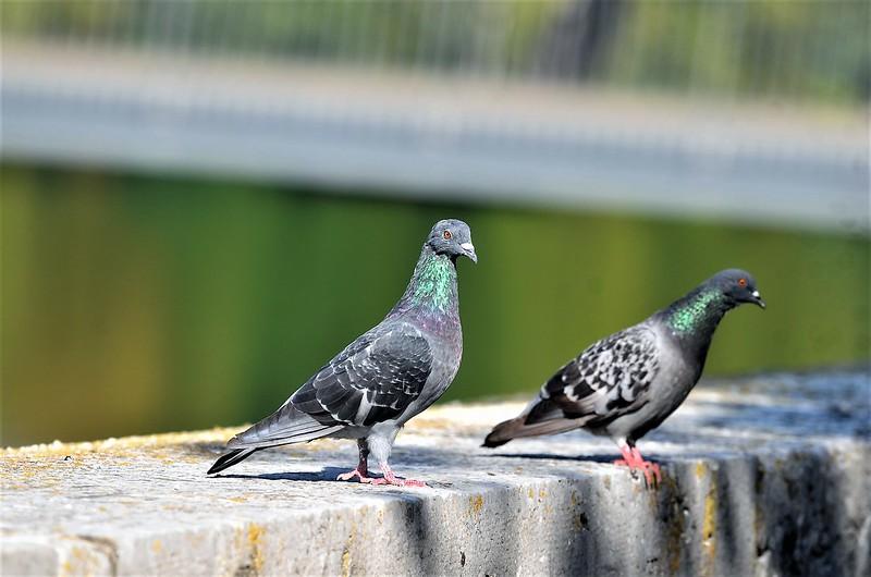 Pigeons 18.09 (1)