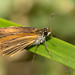 Least Skipper (Ancyloxpha numitor)