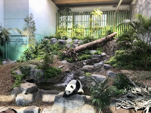 Pandas at the Calgary Zoo