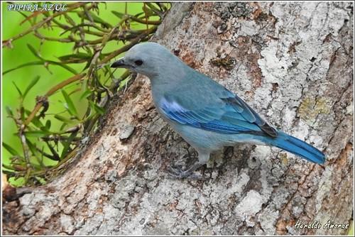 Pipira-azul_Monte Dourado-Pará-PA