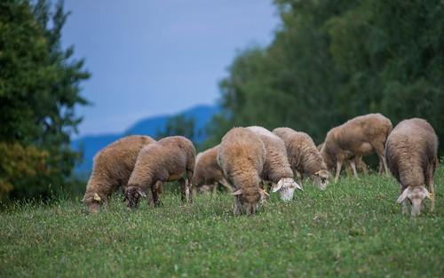 sheep (01)