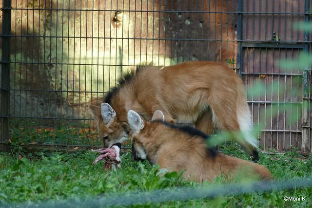 38-Mähnenwolf Mesoe und Chaco