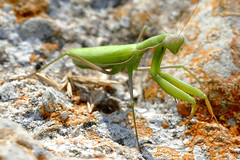 Praying Mantis (Mantis religiosa) female