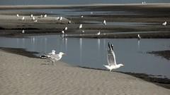 Gulls at the beach, Westerstrand Schiermonnikoog