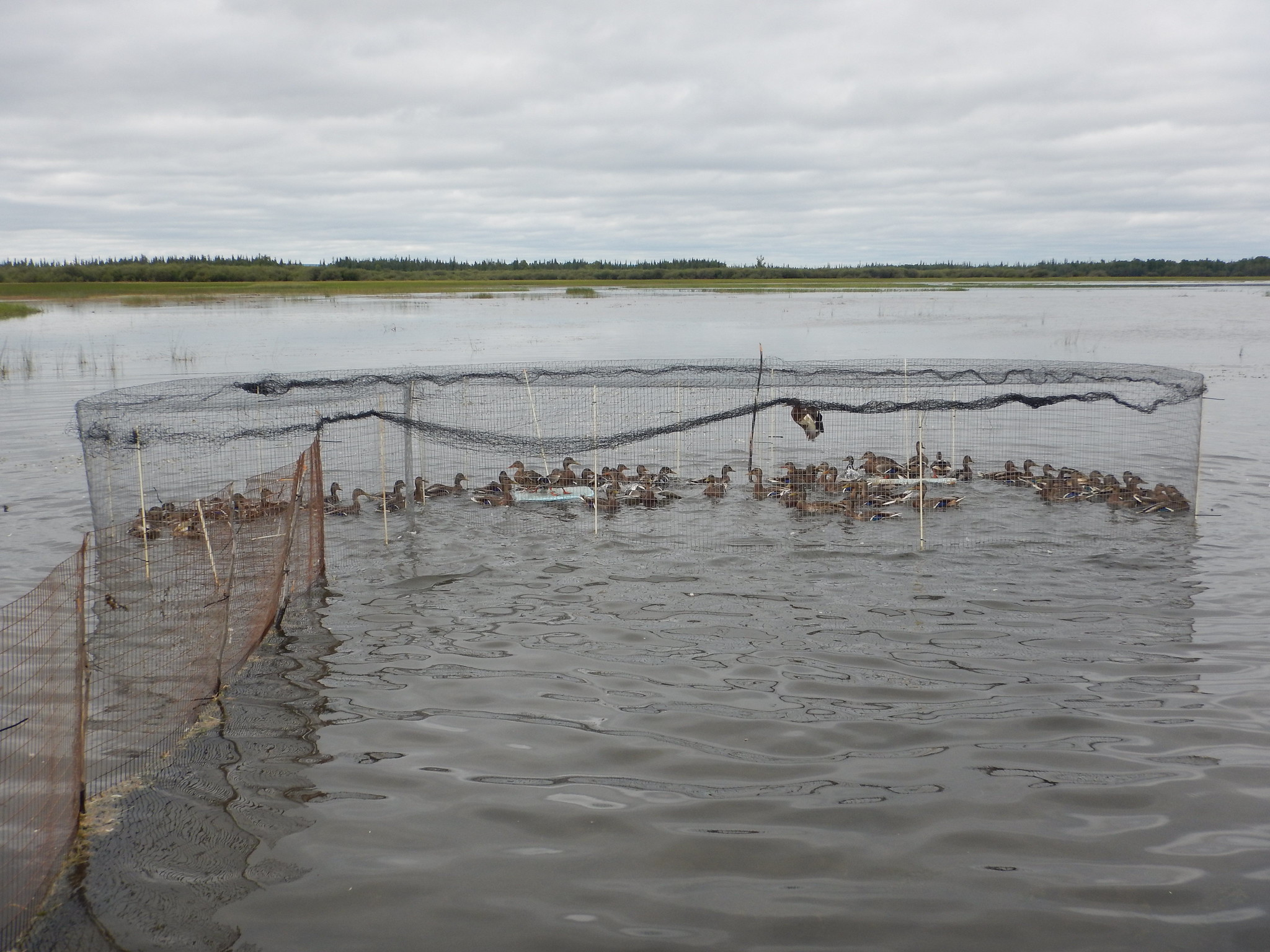 A typical catch in the new, larger traps. Most traps caught Mallards exclusively. Photo Credit: Steve Olson, USFWS