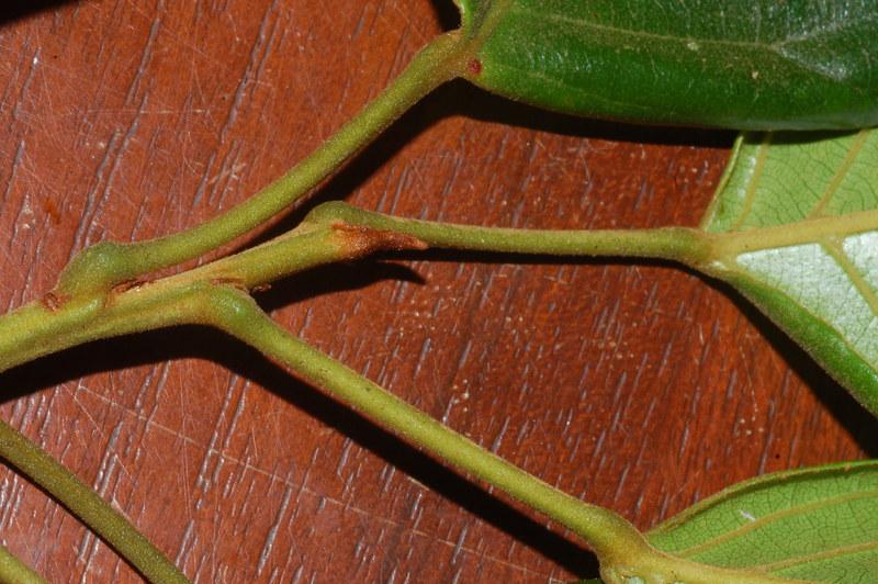 Elaeocarpus largiflorens DSC_0578 (7)