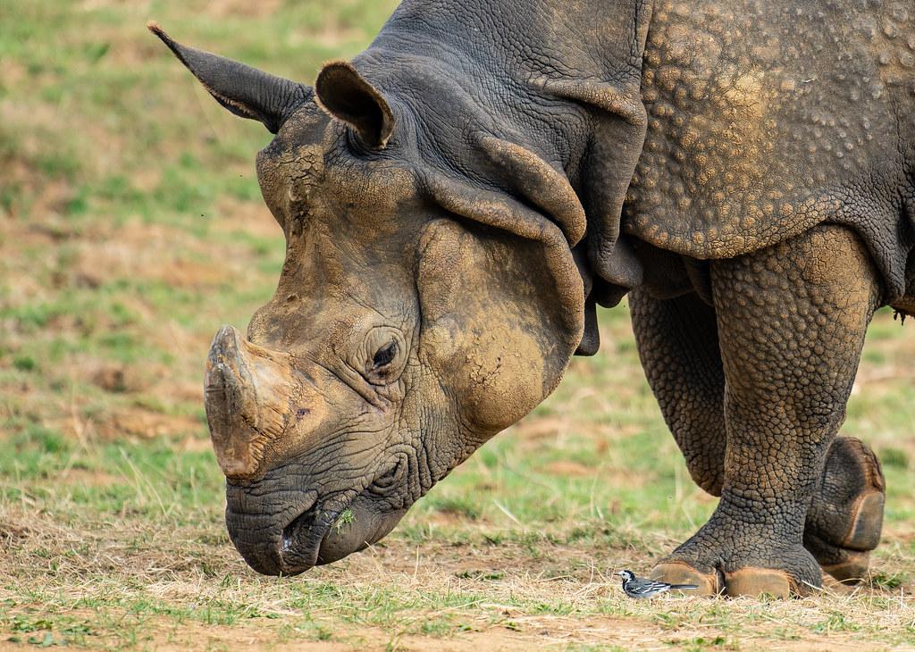 Indian Rhino_6