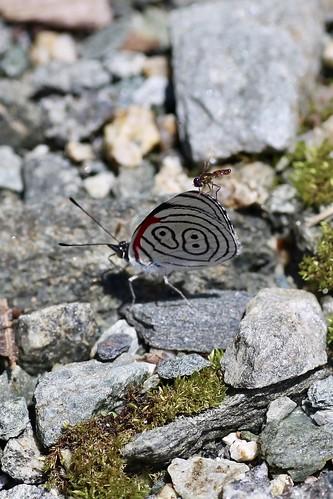 nymphalidae biblidinae callicorini ecuador eltopo