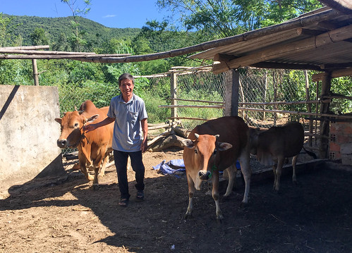 Mr. Hue with his cows August 2018