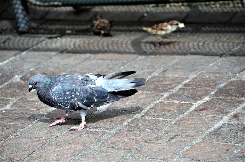 Pigeon 30.08 (3)