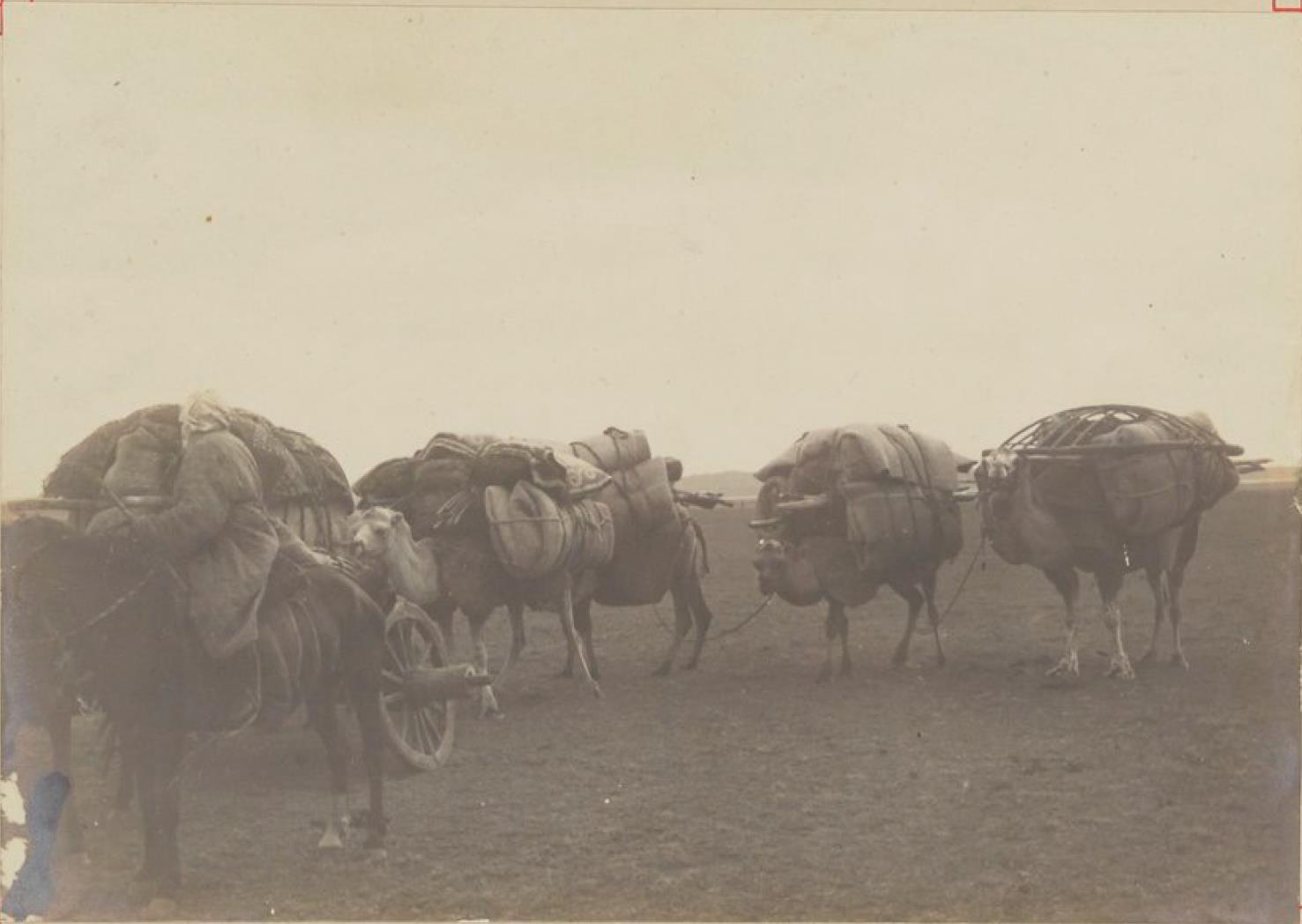 Верблюды каравана