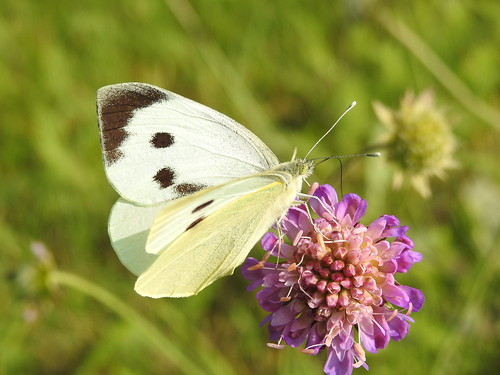 largewhite pierisbrassicae suurkapsaliblikas butterfly p900 nikoncoolpixp900