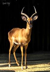 Impala de cara negra