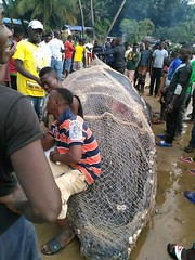 More pictures WHALE CAUGHT BY FISHERMEN IN SIERRA LEONE @ Baw Baw Beach (In Picture) #sierraleone #sierraleonean