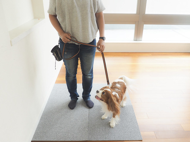 散歩の前にリードの練習をしている犬