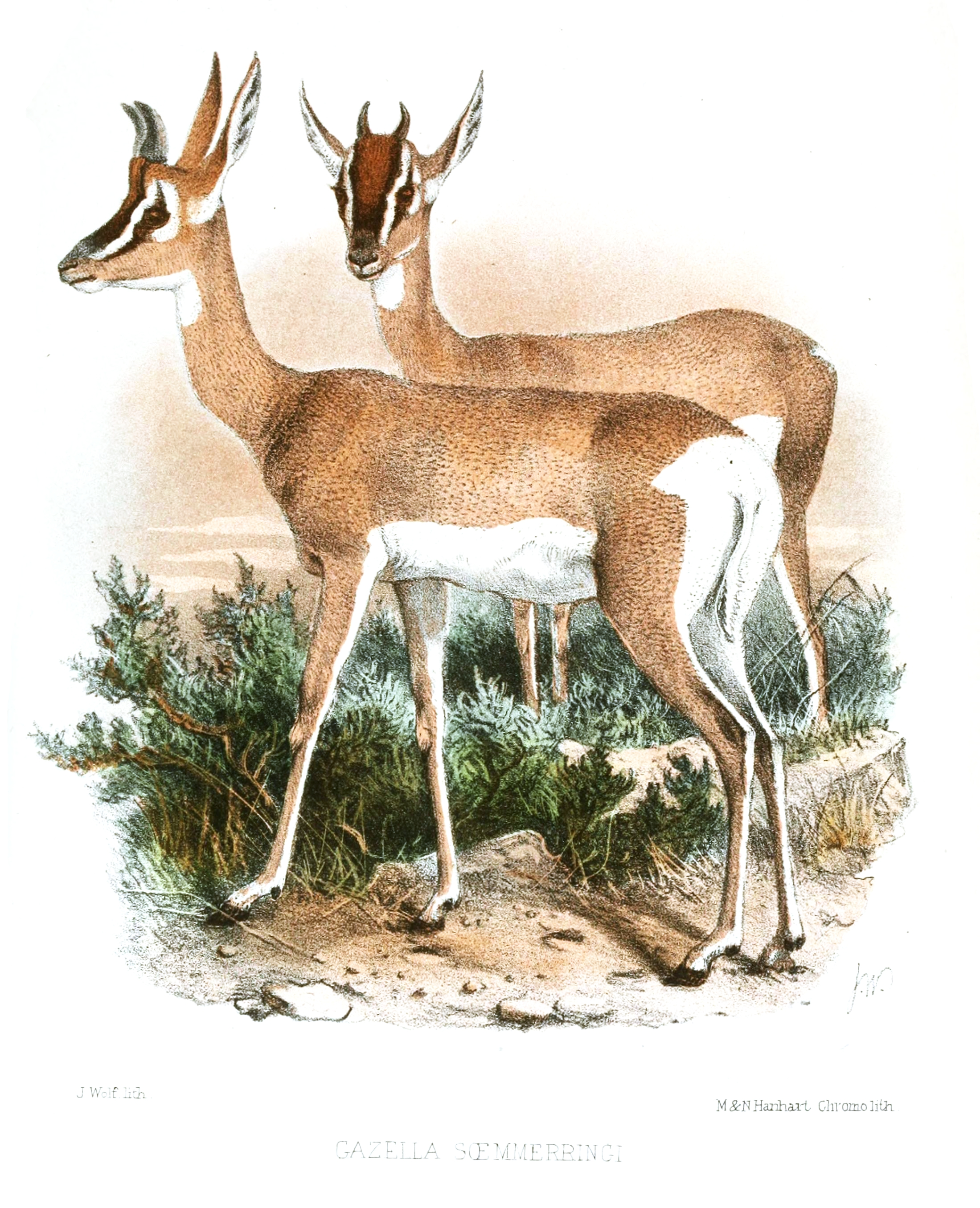 Soemmerring's gazelle (females) as printed in Proceedings of the Zoological Society of London 1867.