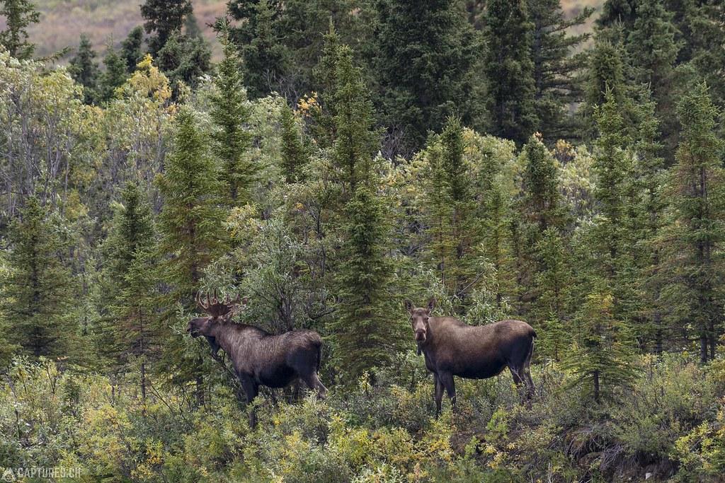 Two moos - Alaska