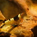 Camarão Crystal Black Bee