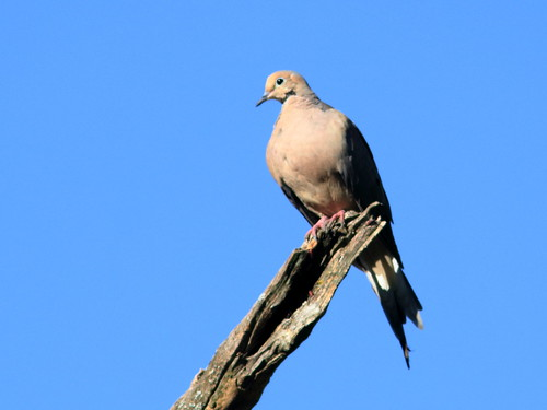 Mourning Dove 20180914