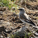 White-winged Snowfinch (111)