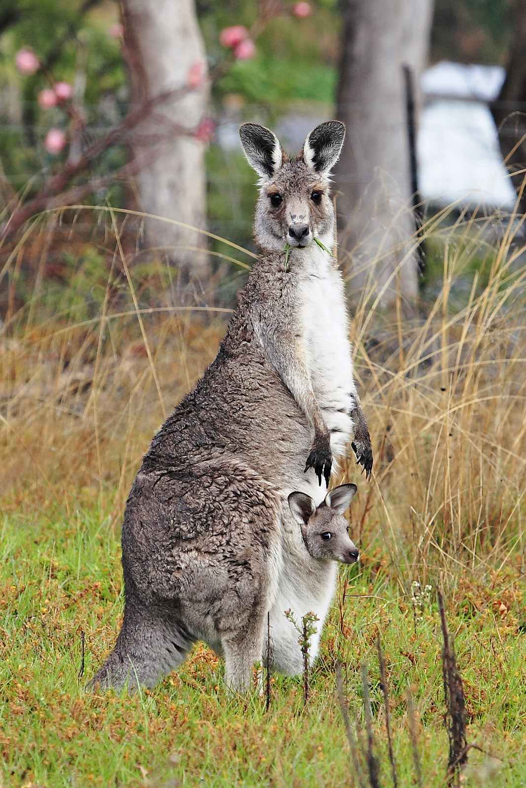 Female Eastern grey kangaroo with joey in pouch. Photo taken on October 15, 2006.