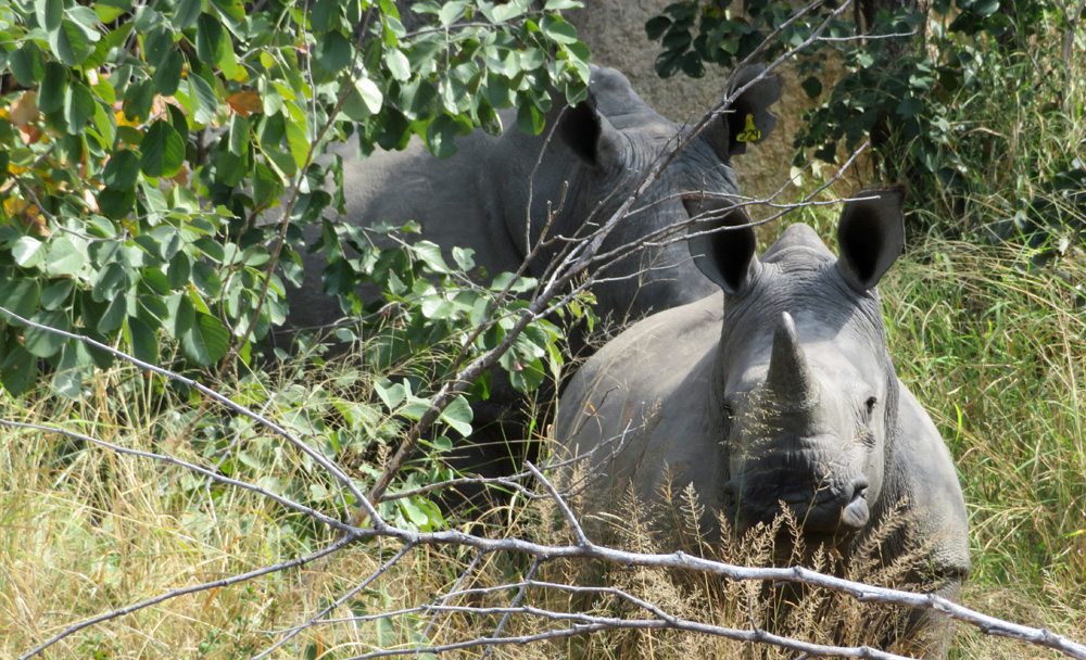 baby-rhino-mom