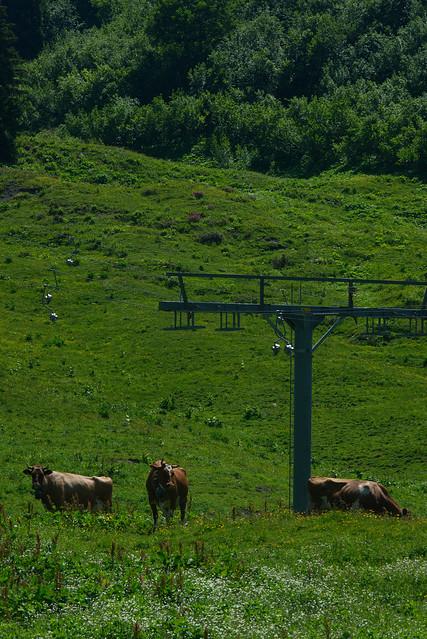 3 Cows, Switzerland, Jul 18