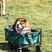 Lazy Bulldog in a Cart.
