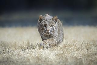 Bobcat stalking pocket gopher