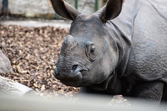 Greater One-horned Rhinoceros 3
