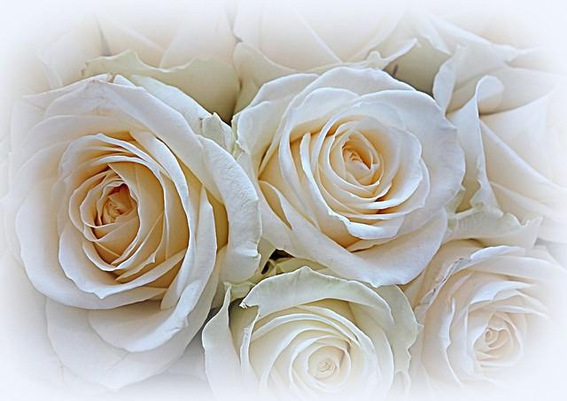 Beauty of white roses