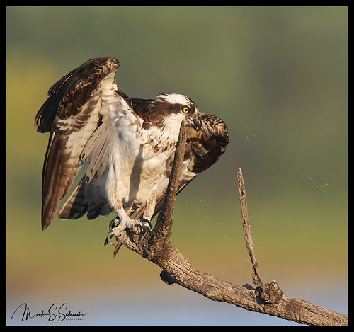 osprey riverlandsmigratorybirdsanctuary rmbs westalton missouri nikon d850 600mmnikkor lincolnshieldsrecreationarea