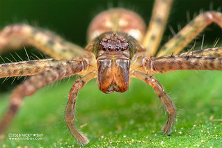 Huntsman spider (Sparassidae) - DSC_8610b