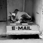 E-mail vaches
