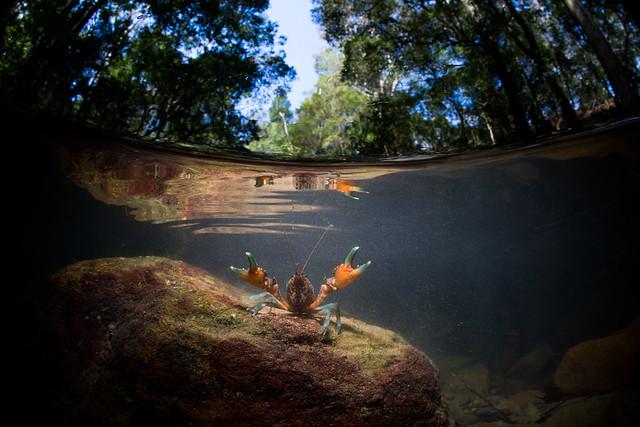 Southern Hairy Crayfish Euastacus, Canon EOS 5D MARK IV, Canon EF 15mm f/2.8 Fisheye