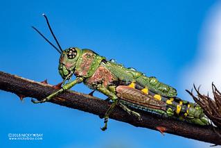 Grasshopper (Euthymia sp.) - DSC_0743
