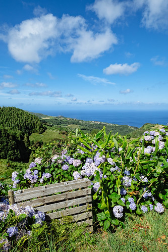 Landscape with hydrangeas - Azores Islands