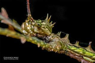 Stick insect (Antongilia laciniata) - DSC_1554