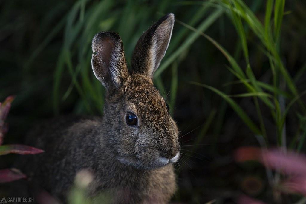 Hare - Alaska