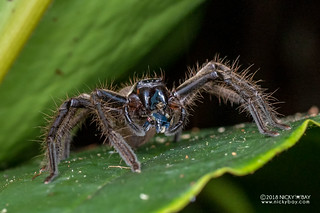 Huntsman spider (cf. Damastes sp.) - DSC_1763