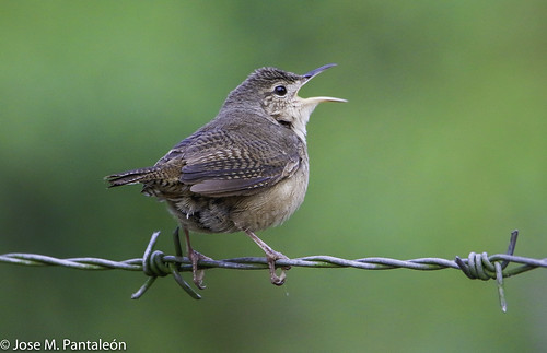 10-Cante, que para cantar no hacen falta las alhajas. Cualquiera canta con solo usar la garganta y echar el alma a volar.(Roy Brown)