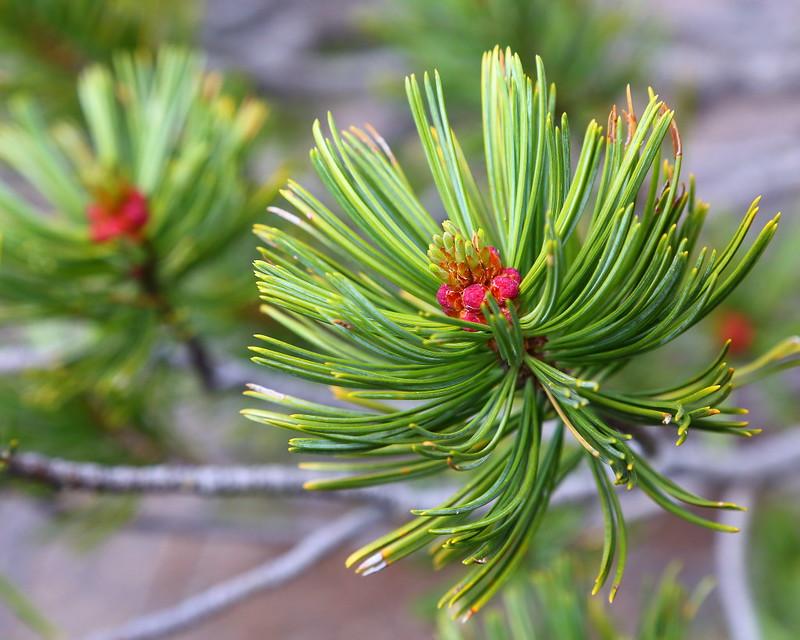 IMG_7007 Whitebark Pine